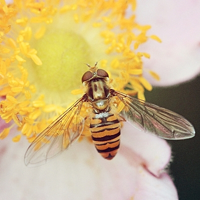 Flower fly by Natasuya