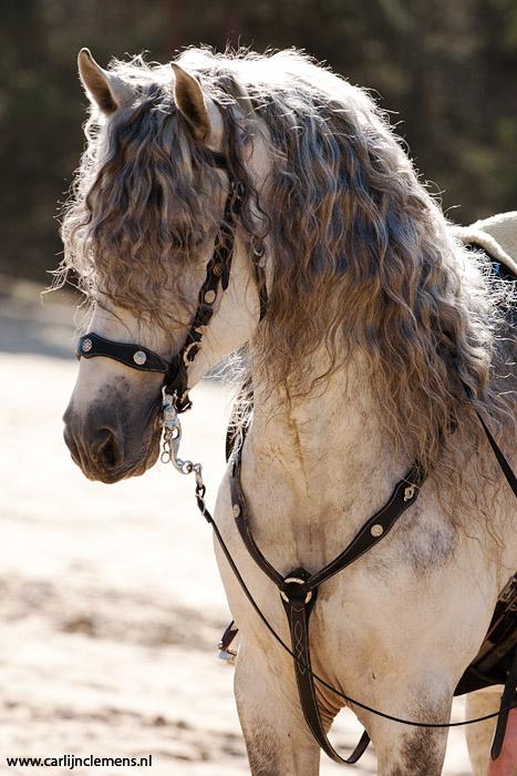 Comanche, PRE stallion by carlinusje