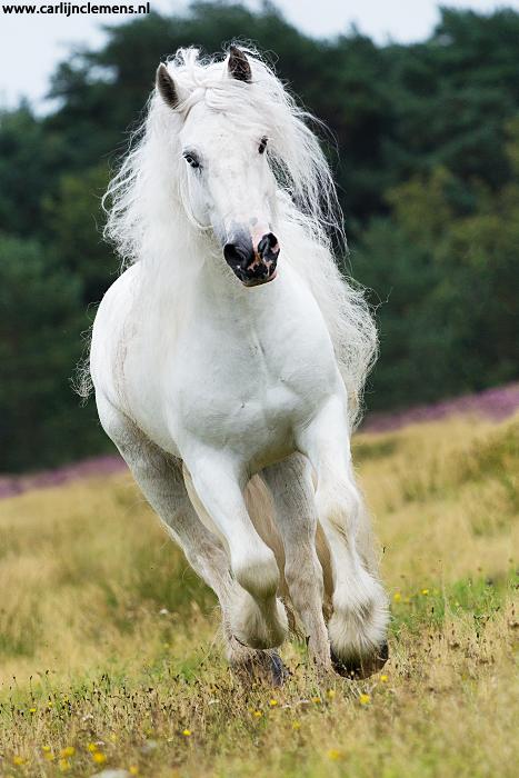 White gypsy galloping by carlinusje