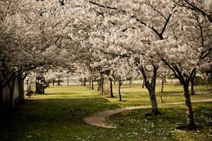 the memories of spring I by torobala