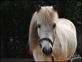 Icelandic Pony by CassyKiara