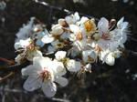 Blackthorn blossom (close-up)