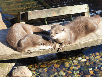 Otter brothers by artjuggler