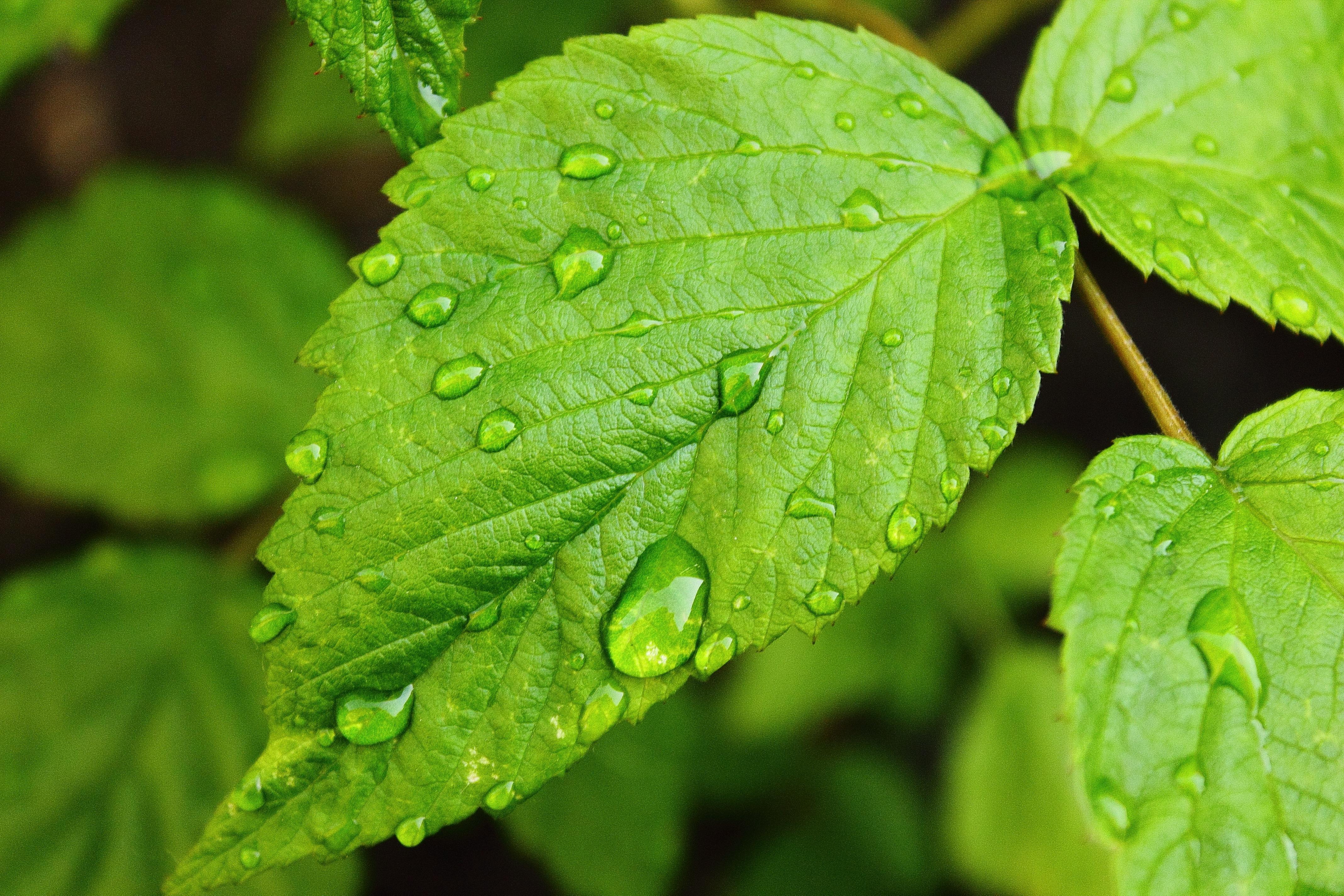 Drops of water on leaf by ChristopherPluta on DeviantArt