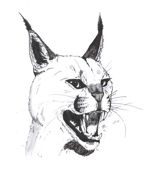Caracal drawing - photo#4