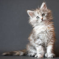 Maine coon kitten Calida by ropo-art