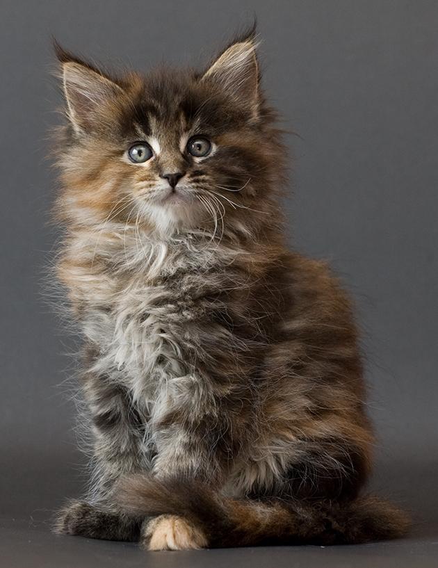 Maine coon kitten Chit...