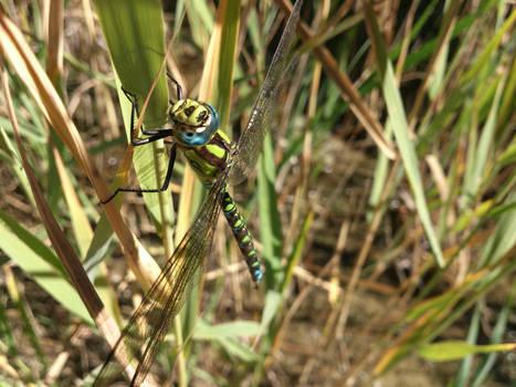 Blue-eyed green dragonfly
