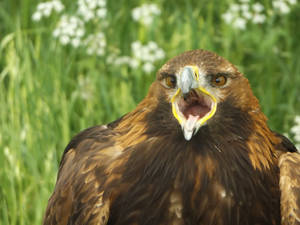 Golden eagle (Chirp Chirp)