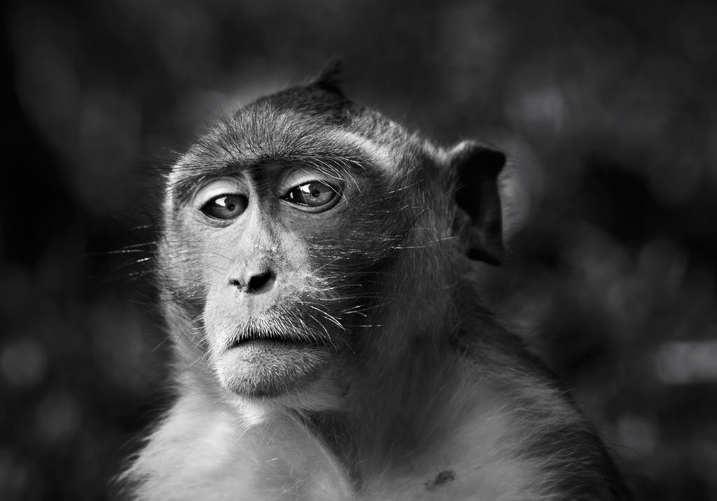 Portrait of a monkey by Phoenixstamatis