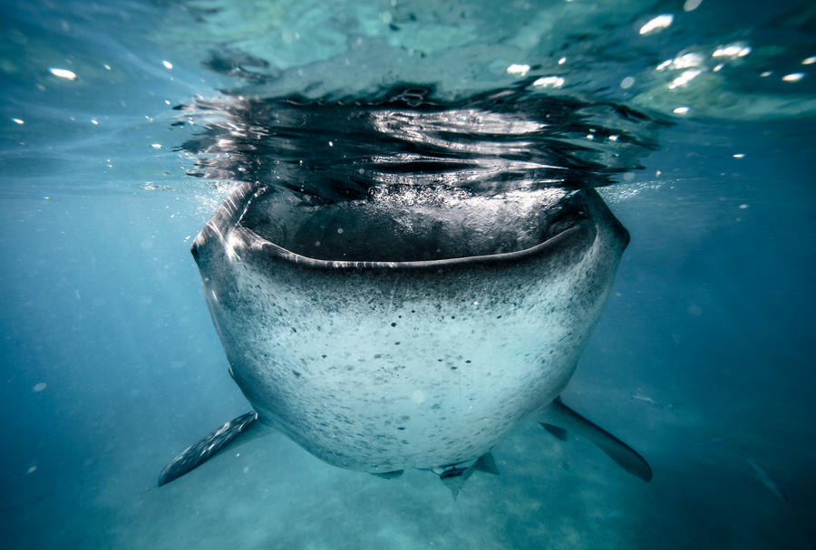 Whale shark by Phoenixstamatis