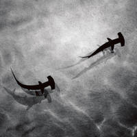 Hammerheads by Phoenixstamatis