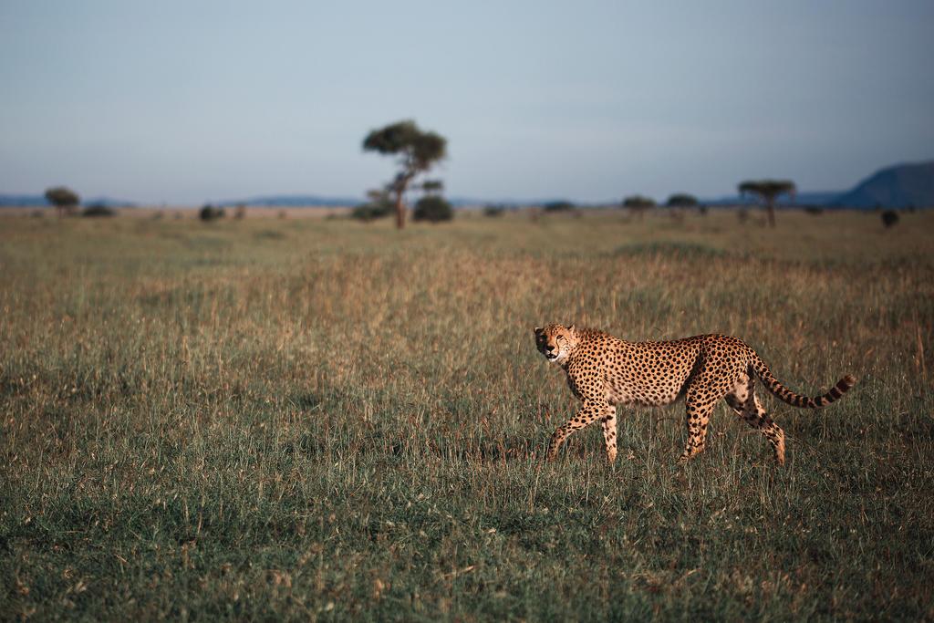 Cheetah by Phoenixstamatis