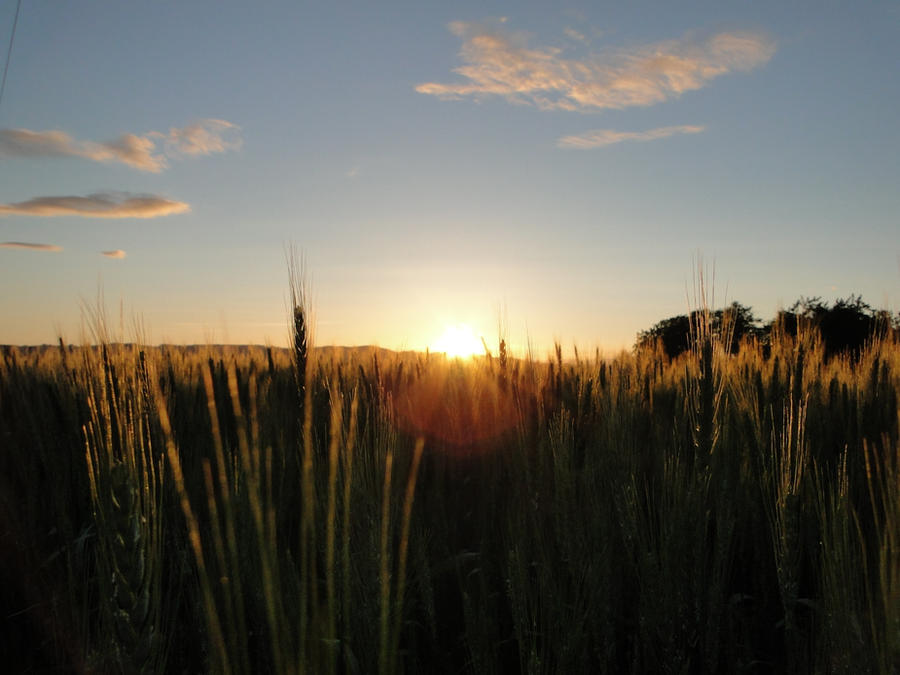 Wheat, Sky, Sunset by LAMONTANE