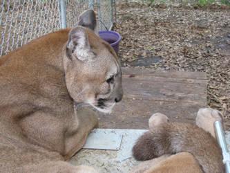 Cougar by VampireSacrifice