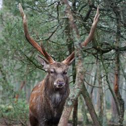 King Deer by Hechicero