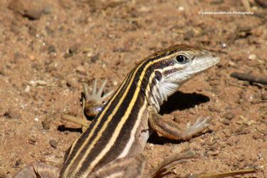 Sedona lizard Upclose