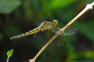 Green Dragonfly  by LandscapesNSuchPhoto