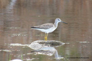 Greater yellowlegs  by LandscapesNSuchPhoto