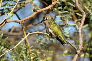 Bright Green Humming bird by LandscapesNSuchPhoto