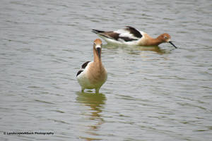 American Avocets by LandscapesNSuchPhoto
