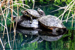 Red Eared sliders