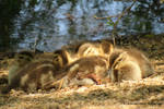 Sleeping ducklings  by LandscapesNSuchPhoto