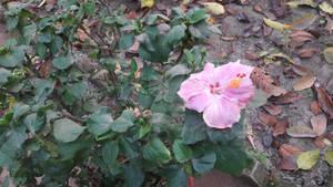 RWP~hibiscus aka China_rose