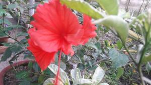 Red (default) hibiscus aka china_rose