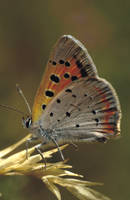 Another Copper Butterfly by kl61