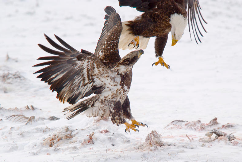 Bald Eagle Fight In Winter by kl61