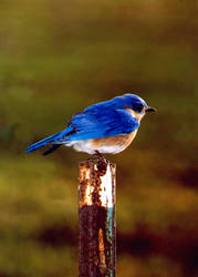blue bird on a post by kl61