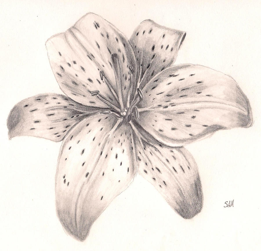 Tiger Lily Pencil Drawing | www.imgkid.com - The Image Kid ...