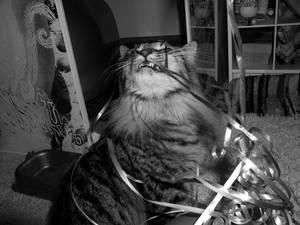 Cat eating Ribbons CUTE