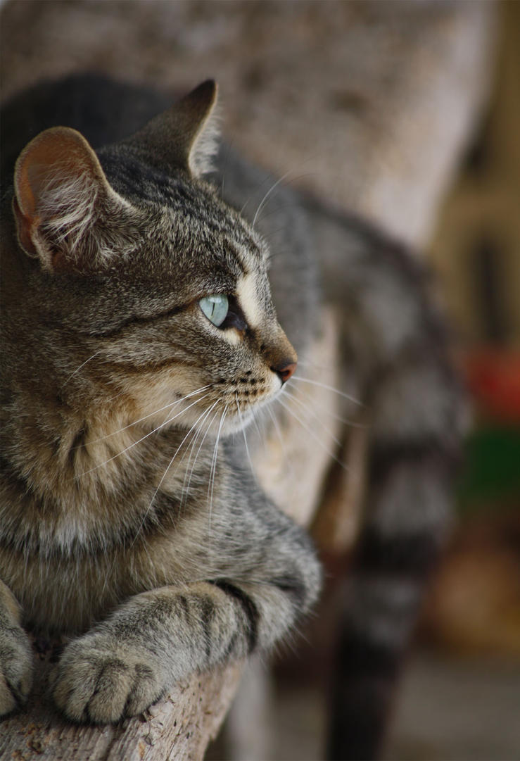 Tabby cat by Oddslane on DeviantArt