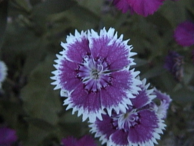 little purple and white flower by computercomedyguy on deviantart, Beautiful flower