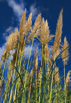Pampos Grass
