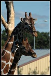 Giraffes by mcleodan