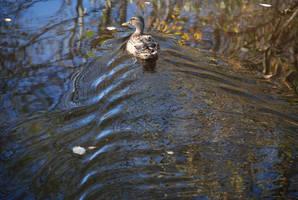 duck by jampura