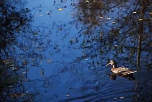 serenity duck by jampura