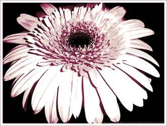 Delicate Flower by mariyanamarinova