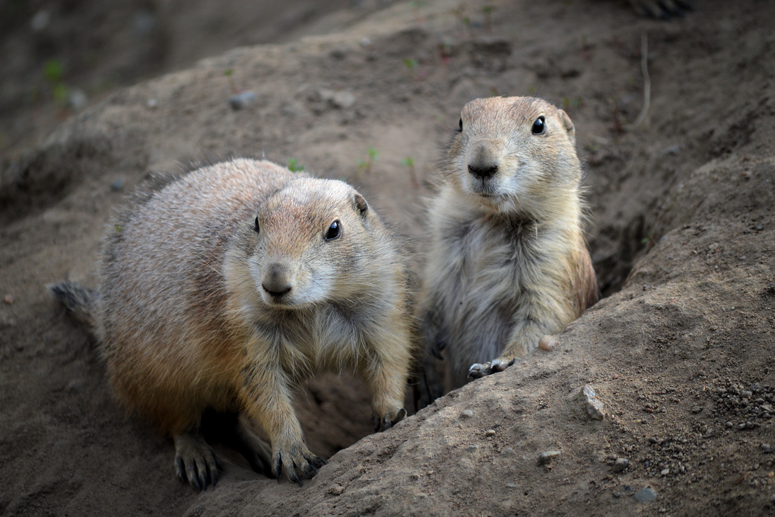Prairie Dogs by Livinja