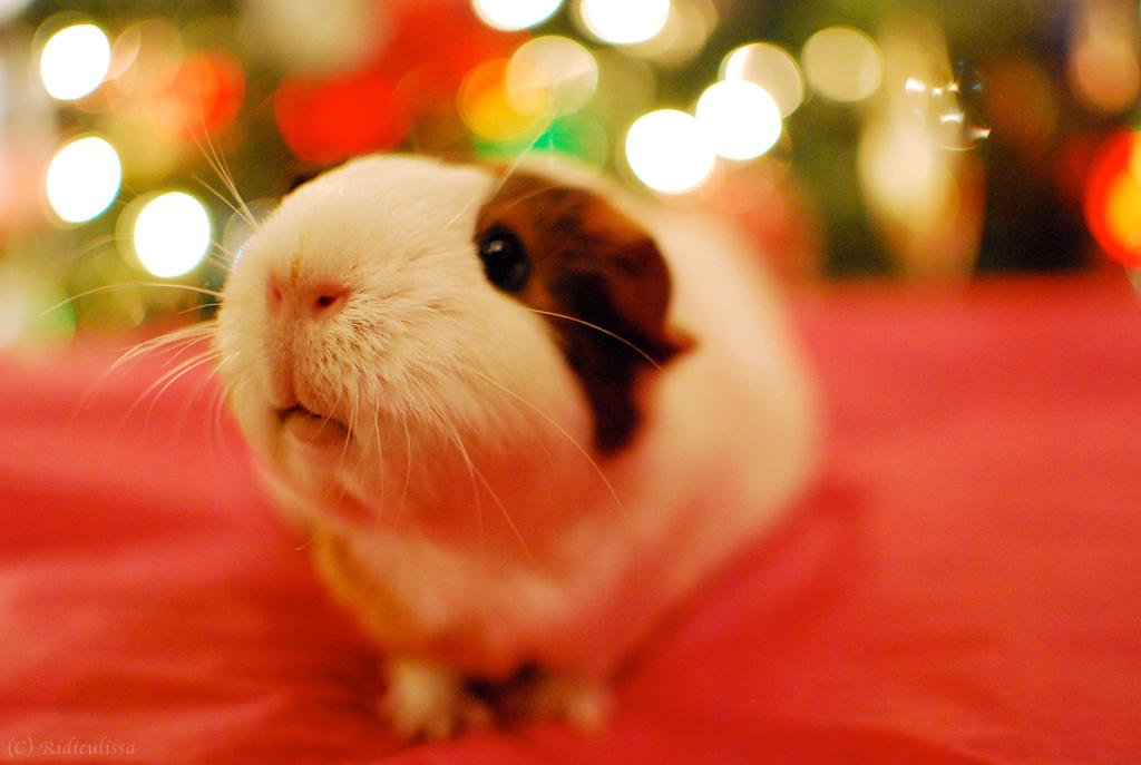 A Cavy Christmas by Ridiculissa on DeviantArt