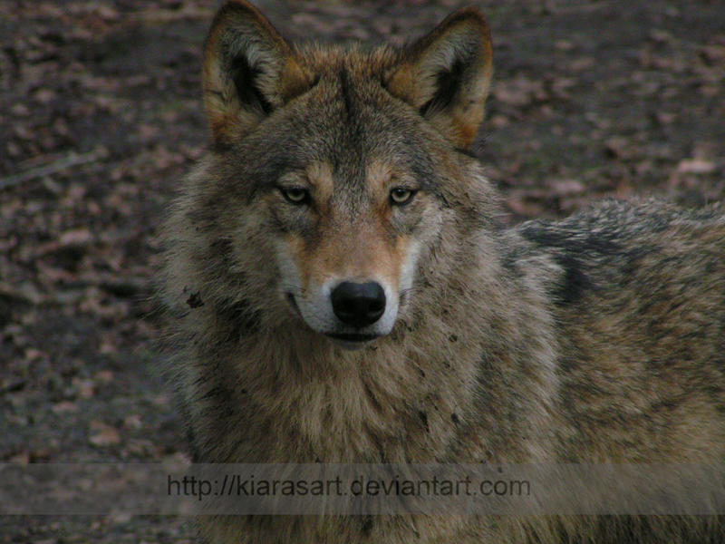 Gray wolf face howling