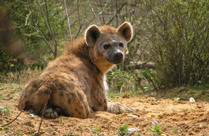 spotted hyena by KIARAsART