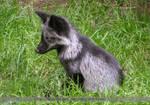 Baby fox I