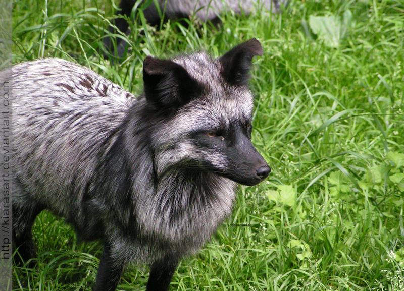 silver fox mom II by KIARAsART on DeviantArt