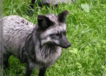 silver fox mom II