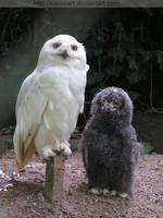 snow owl family by KIARAsART
