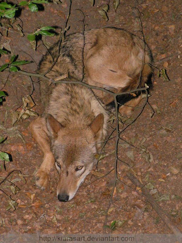 Les loups Disturbed_wolf_by_KIARAsART
